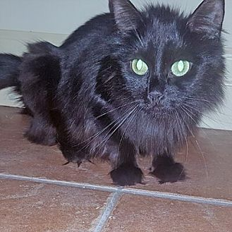 Domestic Mediumhair Cat for adoption in Mississauga, Ontario, Ontario - Heloise