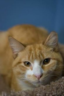 Domestic Shorthair/Domestic Shorthair Mix Cat for adoption in Allentown, Pennsylvania - Joey