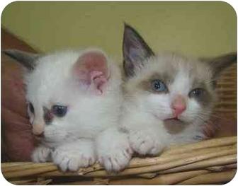 Siamese Kitten for adoption in Haughton, Louisiana - Mitten's kittens