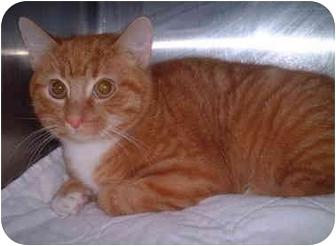 Domestic Shorthair Kitten for adoption in Honesdale, Pennsylvania - Flame