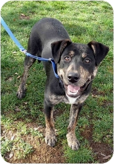 German Shepherd Dog/Hound (Unknown Type) Mix Puppy for adoption in Sacramento, California - Sadie best pup