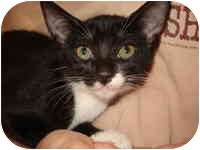 Domestic Shorthair Kitten for adoption in Tampa, Florida - Betty Boop
