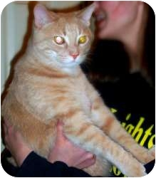 Domestic Shorthair Cat for adoption in Rochester, Michigan - Buddy