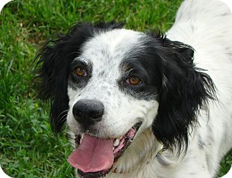 English Setter/Setter (Unknown Type) Mix Dog for adoption in Columbus, Ohio - Cassie