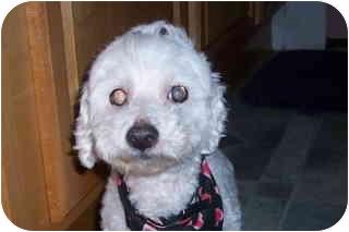 Maltese/Poodle (Toy or Tea Cup) Mix Dog for adoption in Melbourne, Florida - GIGI