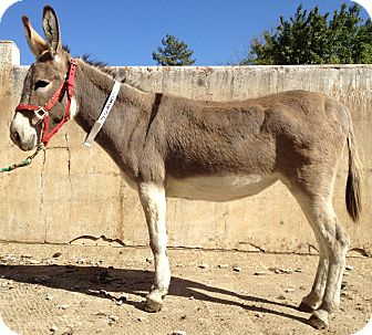 Donkey/Mule/Burro/Hinny Mix for adoption in Sac, California - Tracy