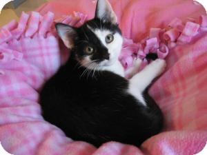 Domestic Shorthair Kitten for adoption in Eagan, Minnesota - Juneau