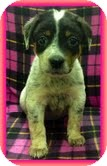 Australian Cattle Dog Mix Puppy for adoption in Plainfield, Connecticut - Misty