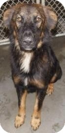 Collie/Shepherd (Unknown Type) Mix Dog for adoption in Shirley, New York - Beamer
