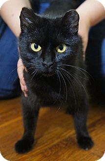 Domestic Shorthair Cat for adoption in Medford, Massachusetts - Kenaya