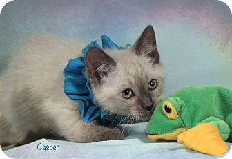 Siamese Kitten for adoption in Kerrville, Texas - Casper