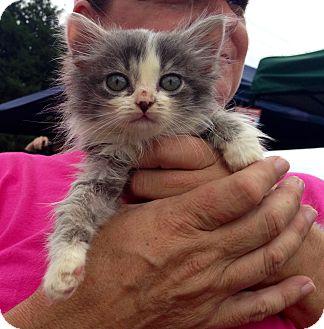 Domestic Shorthair Kitten for adoption in Clarksville, Tennessee - Nala