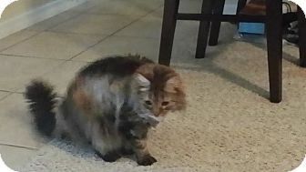Maine Coon Cat for adoption in Daytona Beach, Florida - Smokey