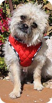 Brussels Griffon Mix Puppy for adoption in Gilbert, Arizona - Ewok