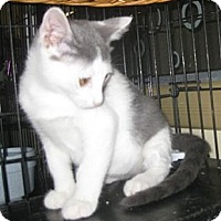 Adopt A Pet :: Salt - Dallas, TX