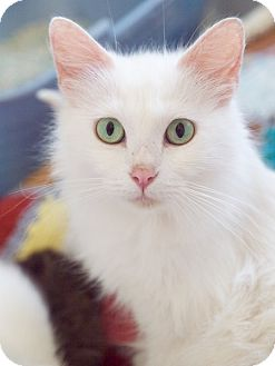 Domestic Longhair Cat for adoption in Knoxville, Tennessee - Duchess