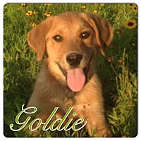 Adopt A Pet :: Goldie - Somers, CT