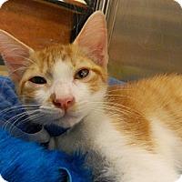 Adopt A Pet :: Atticus - The Colony, TX
