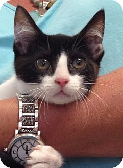 Domestic Shorthair Kitten for adoption in Columbia, South Carolina - Belle