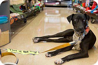 Labrador Retriever/Pointer Mix Puppy for adoption in Homestead, Florida - Tobey