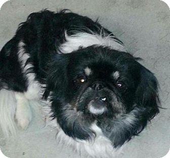 Pekingese Mix Dog for adoption in Mission Viejo, California - BAXTER