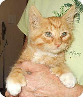Domestic Shorthair Kitten for adoption in Weiser, Idaho - 6 kittens