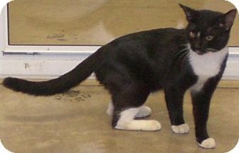 Domestic Shorthair Cat for adoption in Knoxville, Iowa - Doolittle