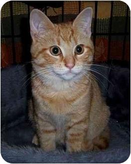 American Shorthair Kitten for adoption in Spencer, New York - Rhett