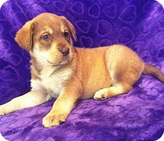 Golden Retriever/Labrador Retriever Mix Puppy for adoption in SOUTHINGTON, Connecticut - Lanie