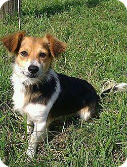 Sheltie, Shetland Sheepdog/Dachshund Mix Dog for adoption in Cincinnati, Ohio - Sherman