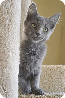 Domestic Shorthair Kitten for adoption in Huntsville, Alabama - Lily (cat)