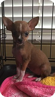 Chihuahua/Yorkie, Yorkshire Terrier Mix Puppy for adoption in Carson, California - TINKERBELL