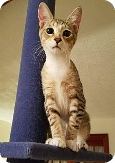 Abyssinian Kitten for adoption in Jacksonville, Florida - Abe