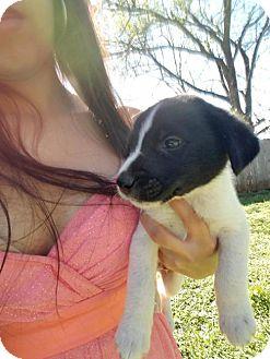 Labrador Retriever/Retriever (Unknown Type) Mix Puppy for adoption in Olympia, Washington - Nathan E