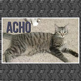 Domestic Shorthair Kitten for adoption in Cedar Springs, Michigan - Acho