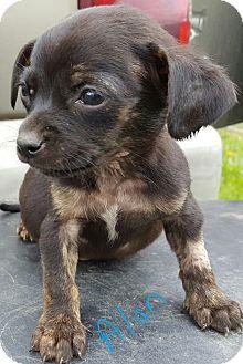 Pug/Chihuahua Mix Puppy for adoption in Albany, North Carolina - Alan