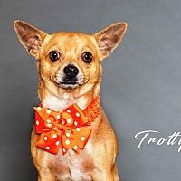 Adopt A Pet :: Trotty - Houston, TX