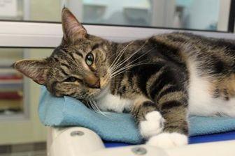 Domestic Shorthair/Domestic Shorthair Mix Cat for adoption in Columbus, Georgia - Gemma 8103