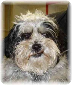Shih Tzu Dog for adoption in Wyoming, Minnesota - Schuster-- Nice!