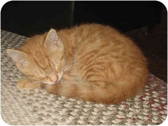 Domestic Shorthair Kitten for adoption in Davis, California - Orlando