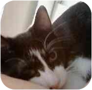 Domestic Shorthair Kitten for adoption in Beacon, New York - Sirius