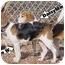 Photo 2 - Beagle Dog for adoption in Waldorf, Maryland - Daisy Minor