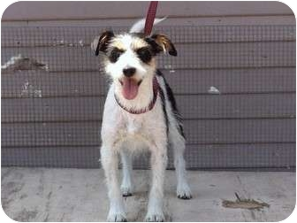 Jack Russell Terrier/Terrier (Unknown Type, Small) Mix Dog for adoption in Bellflower, California - Zoila