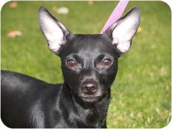 Chihuahua Mix Puppy for adoption in El Cajon, California - Camilla