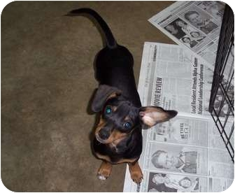 Dachshund/Chihuahua Mix Puppy for adoption in Adamsville, Tennessee - Mathis