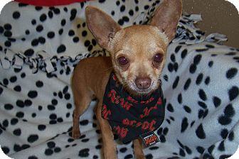 Chihuahua Dog for adoption in Marshall, Texas - Pablo