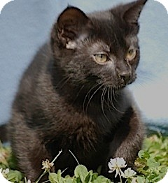 Domestic Shorthair Kitten for adoption in Providence, Rhode Island - Eve