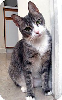 Domestic Mediumhair Cat for adoption in Alexandria, Virginia - Nelly