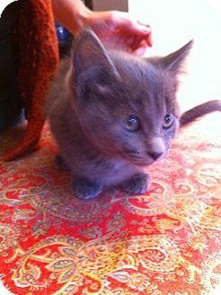 Russian Blue Kitten for adoption in Fountain Hills, Arizona - HERMIONE