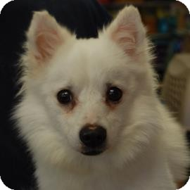 American Eskimo Dog Mix Dog for adoption in Brooklyn, New York - Snowy